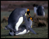 Mating with lots of other penguins around can be difficult