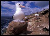 Black-browed Albatross nest on Saunders Island