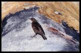 Tussock Bird picking through skin of Elephant Seal