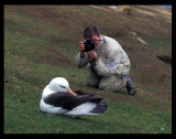 Black-browed Albatross - Falkland Islands 1996