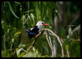 Grey-headed Kingfisher - Santiago
