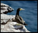 Brown Booby nesting on  Raso
