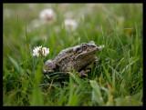 Bufo viridis (European green toad ) - Kazakhstan 2006