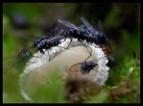 Flies on Phallus impudícus (Liksvamp) - Sweden 2006