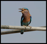 Indian Roller - common sight in Oman