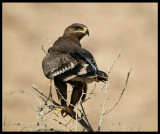 Steppe Eagle - Muscat