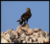 Steppe Eagle - Salalah