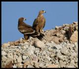 Steppe Eagles  - Salalah