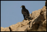 Greater Spotted Eagle - Muscat