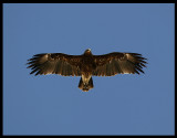 Greater Spotted Eagle - Salalah