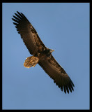 Egyptian Vulture - Muscat
