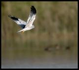 Montagus Harrier - Salalah