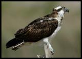 Osprey - Salalah