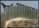 Steppe Eagles - Salalah Dump