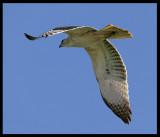 Bonellis Eagle - Salalah