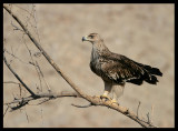 Imperial Eagle - Muscat
