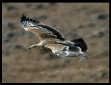Imperial Eagle - Salalah Oman 2004