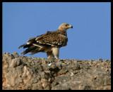 Imperial Eagle - Salalah