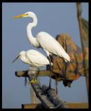 Western Reef & Great White Egret - Sur
