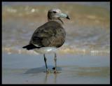 Sooty Gull - Sur