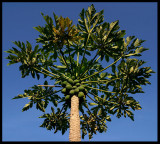 Papaya  tree (Carica papaya)