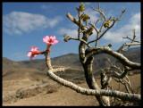 Frankincense  tree (Boswellia)