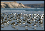 Sooty Gulls on the beach outside Taqah