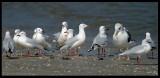 Slender-billed Gulls - Sur