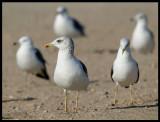 Gulls sp. - Sur
