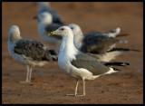 Lesser Black-backed Gulls (Heuglini) - Sur