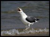 Heuglini Lesser Black-backed Gull - Sur