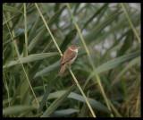 Clamorous Reed Warbler - Al Ansab Lagoons