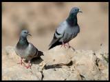 Rock Pigeons - Taqah
