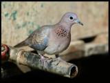 Laughing Dove - Taqah
