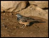 African Rock Sparrow - Taqah