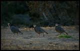 Arabian Partridge - Taqah