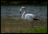 Greater Flamingo - Salalah