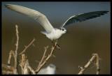 Whiskered Tern - Khawr Taqah Oman 2004