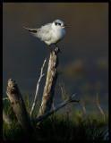 Whiskered Tern - Khawr Taqah