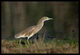 Squacco Heron - Salalah