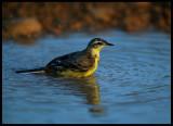 Yellow Wagtail - Jarziz Farm Salalah