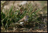 African Silverbill - Jarziz Farm Salalah