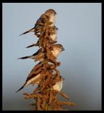 African Silverbills - Jarziz Farm Salalah