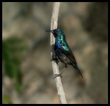 Palestine Sunbird - Salalah
