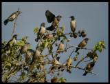 Rose-coloured Starlings - Jarziz Farm Salalah