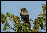 Rose-coloured Starling - juvenile - Jarziz Farm Salalah