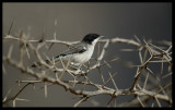 Arabian Warbler - Eyn Hamran