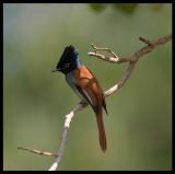 African Paradise Flycatcher - Eyn Hamran