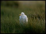 Cattle Egret - Qatbit
