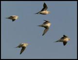 Spotted Sandgrouses - Muntasar Oasis